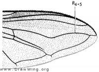 Eriozona erraticus, wing