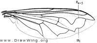 Salpingogaster punctifrons, wing
