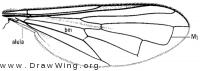 Neoascia distincta, wing