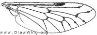 Silvius quadrivittatus, wing