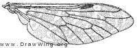 Haematopota americana, wing