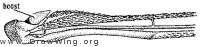 Stenotabanus flavidus, wing base