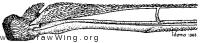 Tabanus americanus, wing base