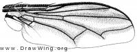 Euantha litturata, wing