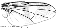 Oestrophasia signifera, wing