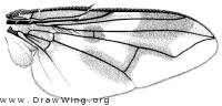 Oestrophasia clausa, wing
