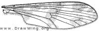 Protanyderus margarita, wing
