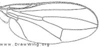 Tanypeza longimana, wing