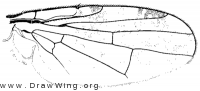 Acinia picturata, wing