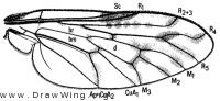 Megalinga insignata, wing