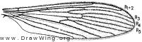 Molophilus (Promolophilus) nitidus, wing
