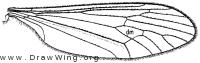 Trichocera garretti, wing