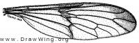 Vermileo tibialis, wing