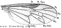Rachicerus obscuripennis, wing