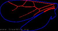 Sclerogibbidae, wings