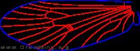 Glossosoma hoodi, hind wing