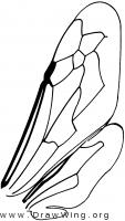 Euparagiinae, wings