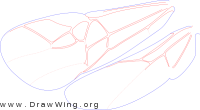 Ichneutinae, wings