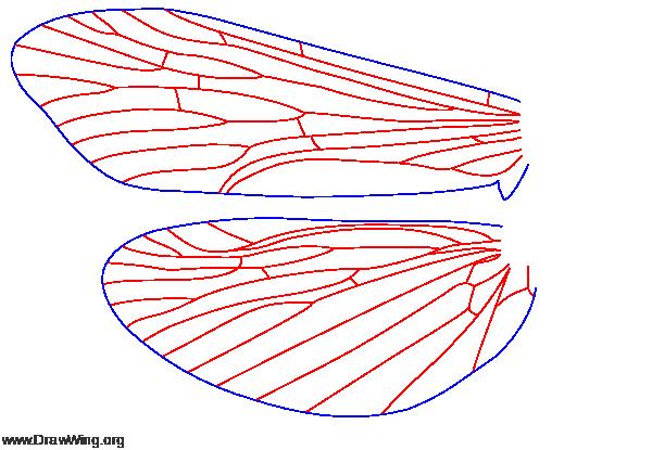Diplectrona modesta, wings