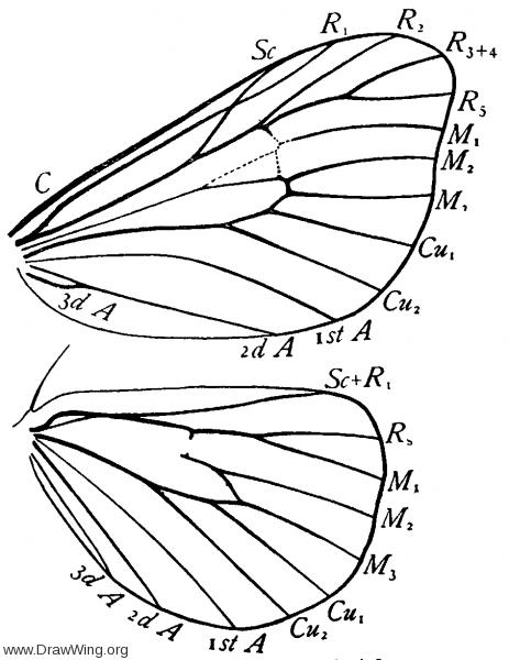 Adoneta, wings