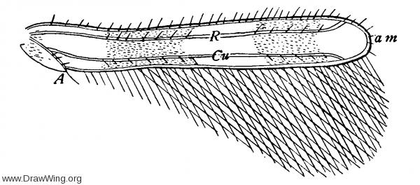 Aeolothrips nasturtii, fore wing