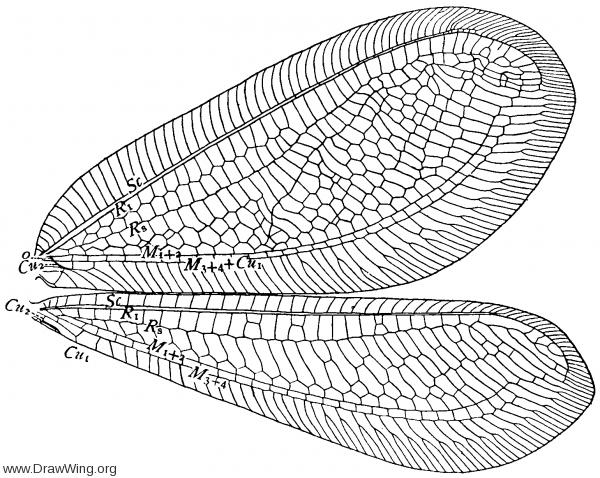 Apochrysa croesus, wings