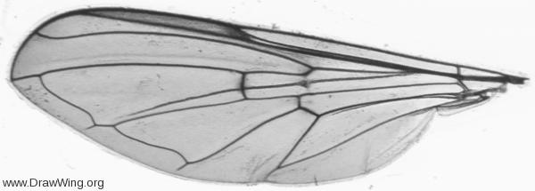 Baccha elongata, wing