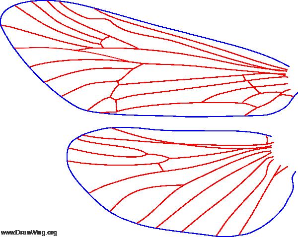 Brachycentrus numerosus, male, wings