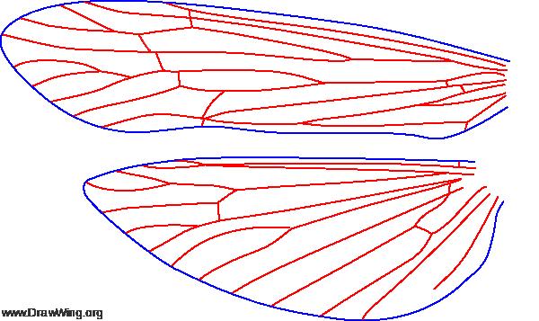 Ceraclea annulicornis, female, wings