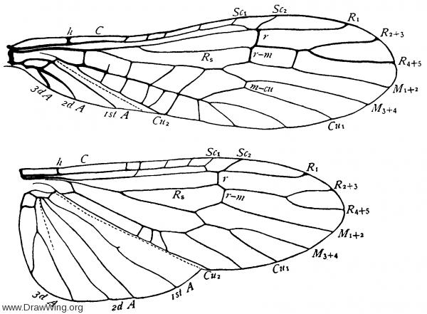 Chloroperla, wings