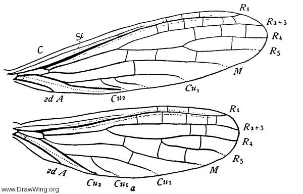 Clothoda nobilis, wings