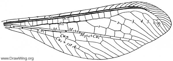 Croce filipennis, fore wing