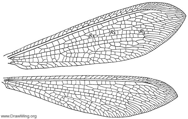 Cryptoleon nebulosum, wings