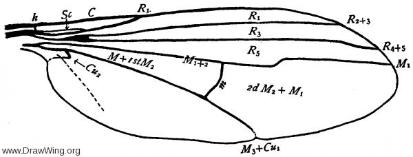 Dolichopus coquilletti, wing
