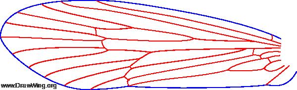 Ecclisocosmoecus scylla, wings