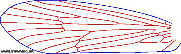 Ecclisomyia conspersa, fore wing