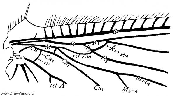 Hemerobius humuli, base of hind wing