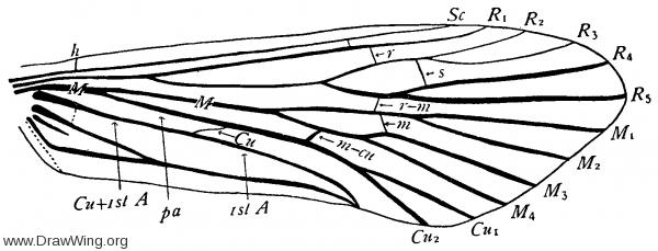 Hydromanicus dilatus, fore wing