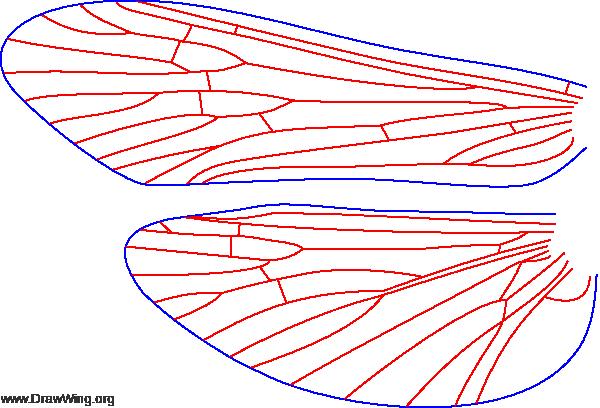 Hydropsyche recurvata, wings