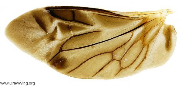 Wing of Iphiclus egensis