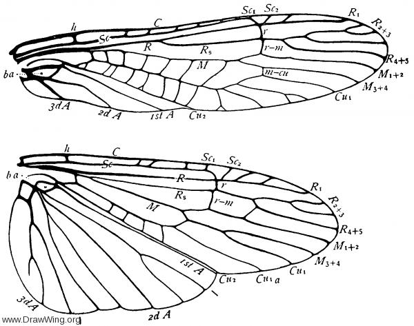Isogenus, wings