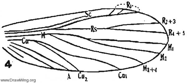 Lepium elongatum, fore wing