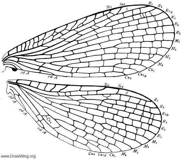 Merope tuber, wings