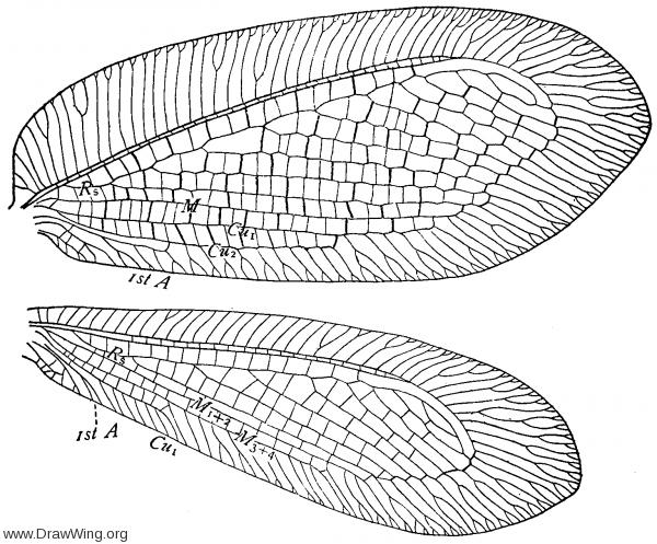 Myiodactylus pubescens, wings