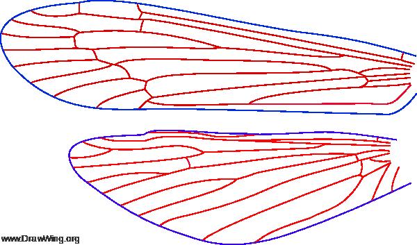 Mystacides sepulchlaris, wings