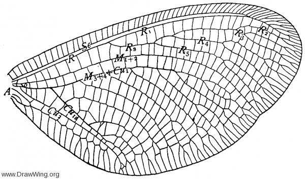 Nemoptera sinuata, fore wing