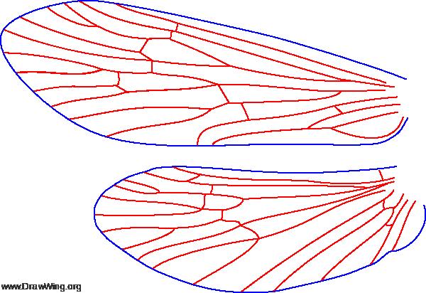 Neureclipsis crepuscularis, wings