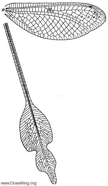 Oliverina extensa, wings