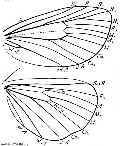 Packardia, wings