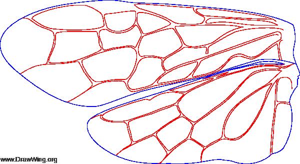 Pamphiliidae, wings